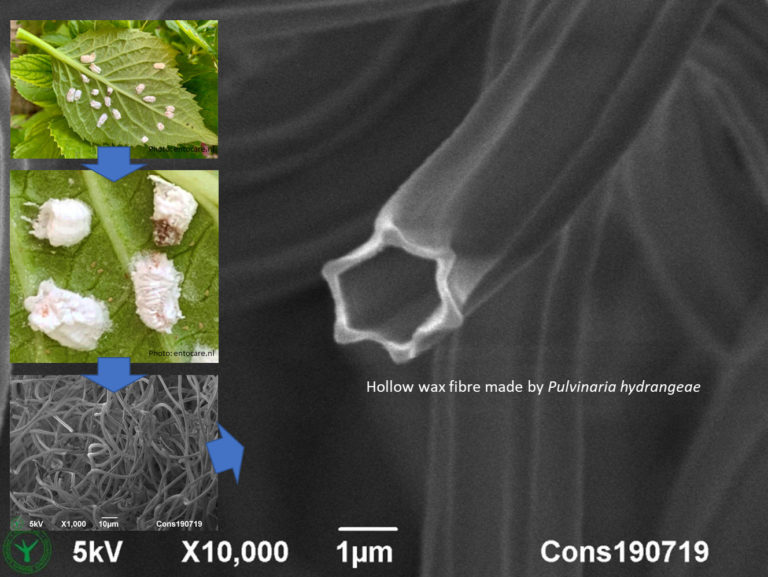 Hollow wax fibres made by hydrangea scale insects. 1 µm. Cryo-SEM images. Photo by Jaap Nijsse, Consistence Microstructure Research Laboratory.