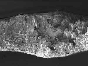 Cryo-SEM fracture image of cabbage (Brassica Oleracea) leaf cross section. Image width is 1200 µm. Photo by Jaap Nijsse, Consistence Microstructure Research Laboratory.