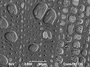 Cryoplaning SEM image of Rose cut flower stem cross section. 500 µm. Photo by Jaap Nijsse, Consistence Microstructure Research Laboratory.