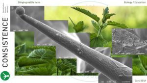 Cryo-SEM stitched image of leaf hair of stinging nettle (Urtica dioica). Photo by Jaap Nijsse, www.Consistence.nl