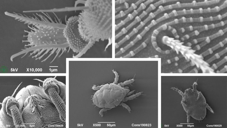 Cryo-SEM images of mites isolated from hortensia (Hydrangea) leaves, using a vibrating funnel. Photos by Frank Nijsse, www.Consistence.nl