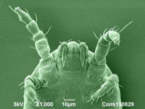 cryo-SEM image of a mite found on a hydrangea leaf. Image width 130µm. Jaap Nijsse, www.consistence.nl