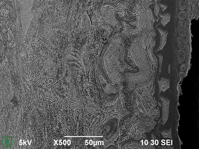 Cryo-SEM image of external mucilage layer of an imbibed garden cress seed (Lepidium sativum). Image width is 260 µm. Photo by Jaap Nijsse. www.Consistence.nl.