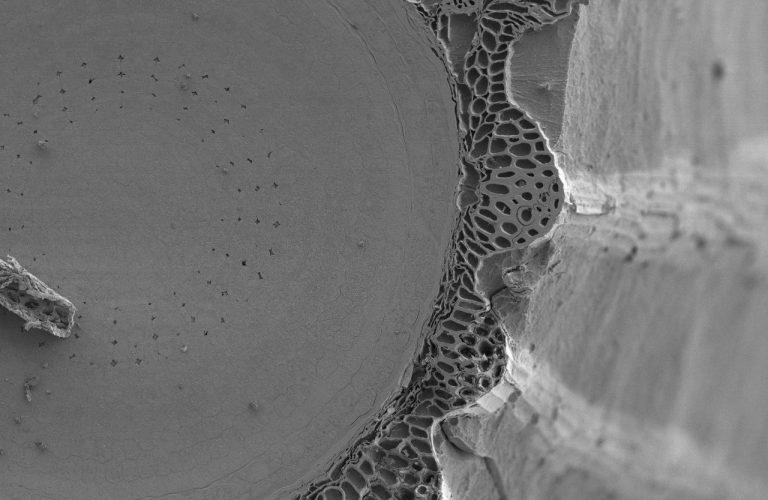 Cryoplaning SEM image of imbibed lettuce seed (Lactuca sativa). Image width is 460 µm. Photo by Jaap Nijsse.