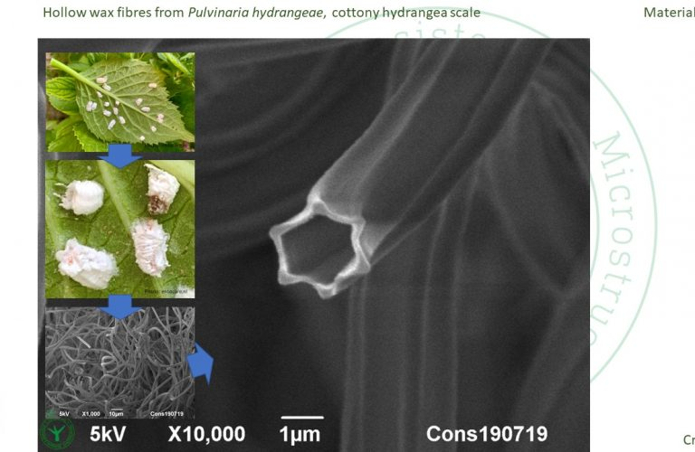 Cryo-SEM analysis of hollow wax fibres from cottony hydrangea scale insects (Pulvinaria hydrangeae). By Jaap Nijsse, Consistence Microstructure Research Laboratory